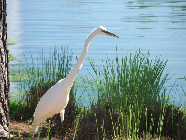 Loons And Turtles And Cranes Oh My >> Is This A Heron Egret Or Crane The National Wildlife Federation