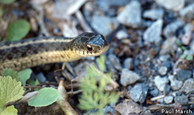 Garter snake by Paul Marsh