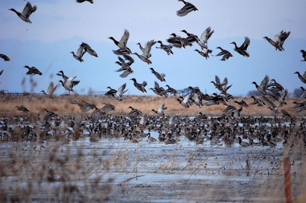 Mallards and other ducks stand to gain from the Clean Power Plan.  Photo Credit: USFWS.