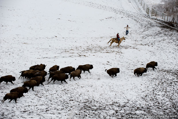 Herding bison bound for release at Fort Peck, MT