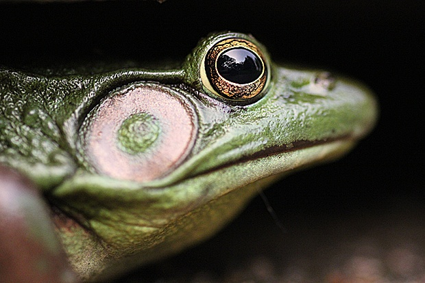 Frog Close-up by Evan Gracie