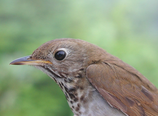 Bicknell's Thrush. Photo by Steve D. Faccio (Vermont Center for Ecostudies)