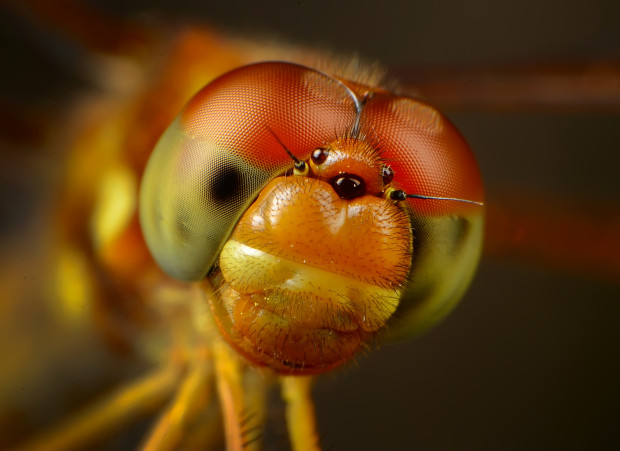 An Eastern Amberwing Dragonfly. National Wildlife Photo Contest entry by Nicholas Thompson.