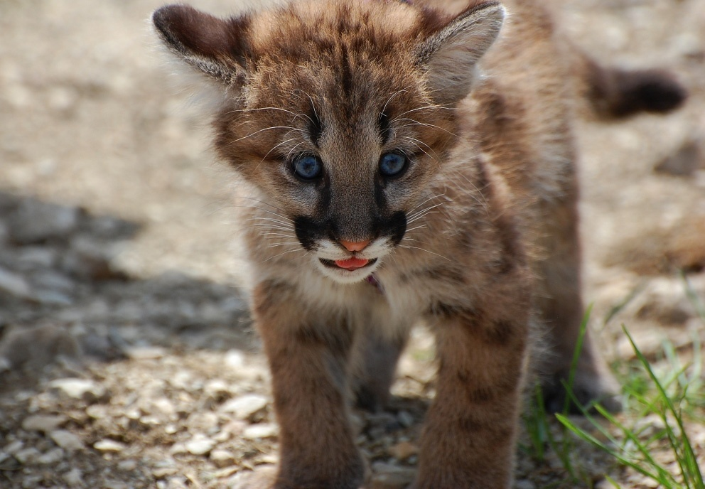 We're Not Mountain Lion About These Facts • The National Wildlife