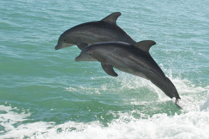 Dolphin mother and her calf in the Gulf. Photo by Pete Markham, Flickr