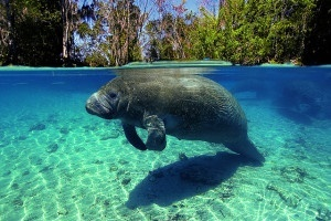 A manatee swimming warm shallow water photo by Flickr, ASCOM Prefeitura de...