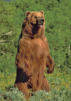 bear standing on hind legs