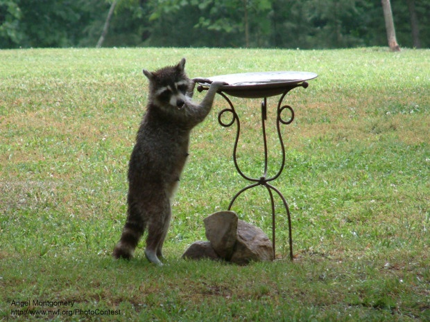 raccoon at a Birdbath