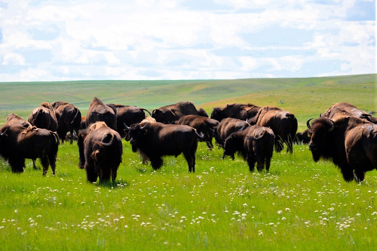 bison, Fort Peck