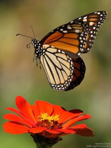 Monarch butterfly at the moment of lift-off in Kempner, Texas. Photo donated by National Wildlife Photo Contest entrant Howard Cheek.