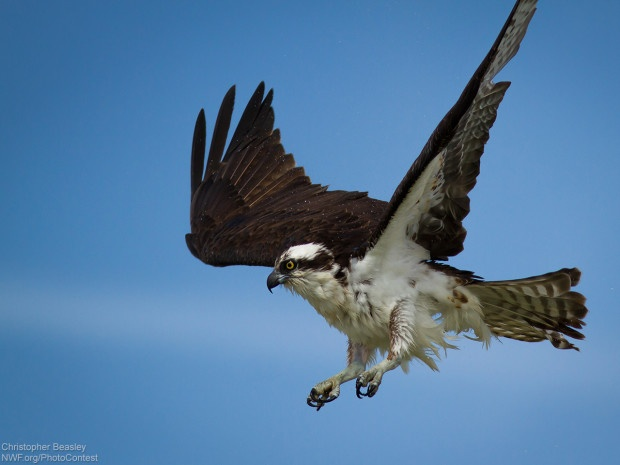 National Wildlife Photo Contest entrant Christopher Beasley took this photo of an osprey while kayaking.