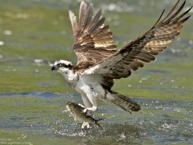 Osprey Gripping Fish by Ken Lee