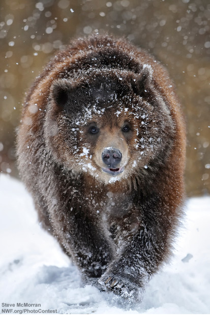 A cub in Yellowstone National Park. Photo by National Wildlife Photo Contest entrant Steve McMorran.