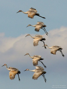 Sandhill cranes are one of the many species that are impacted by tar sands development. Photo by Myrna Erler Bradshaw, NWF photo contest winner