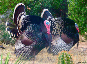 Mitzi Jones captured these two male Gould's turkeys strutting in her backyard in the Huachuca Mountains of southeast Arizona.