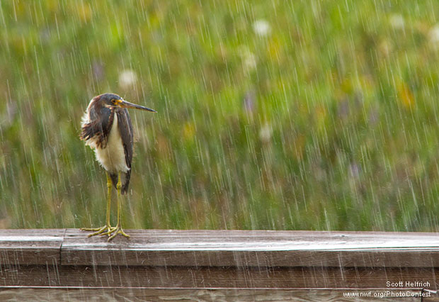 Tricolored heron in the rain