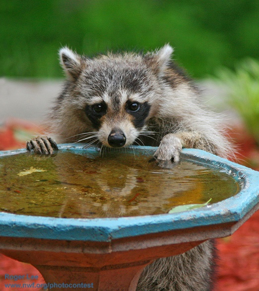 raccoonat a bird bath