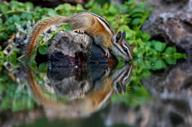 chipmunk, garden, gardening, NWF, National Wildlife Federation, Garden for Wildlife