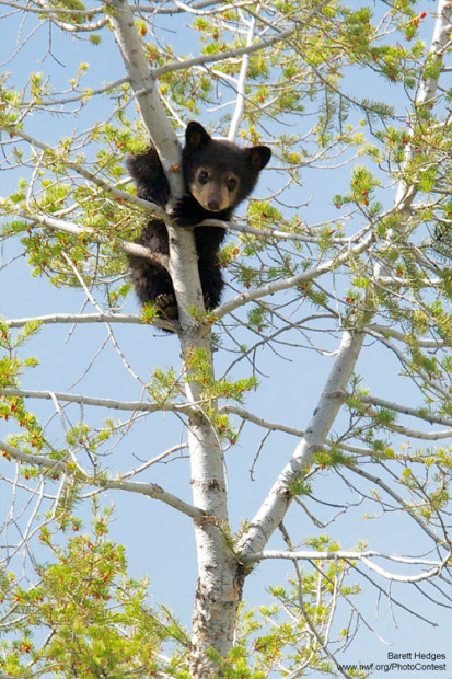 Bear cub climbing in a tree by Barrett Hedges.