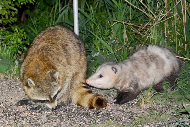 An opossum meets a raccoon at a bird feeder in a backyard in Orland Park, Illinois. Marsupials, like the opossum, have rudimentary brains compared to other mammals. The opossum's brain is about a fifth the size of a raccoon's. Photo by Robert Natzke.