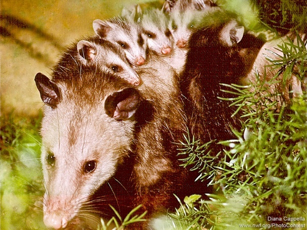 Female opossums will carry maturing young on their backs, as this mother is doing in Palm Beach Gardens, Florida. A mother's load can be burdensome, given that a female can produce as many as 13 young at a time. Photo by Diana Cappella.