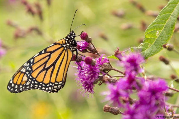 Monarch being released after emerging. Photo by Avelino Maestas.