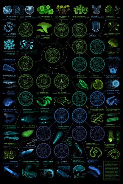Infographic of bioluminescent organisms. Poster created by Eleanor Lutz. http://tabletopwhale.com