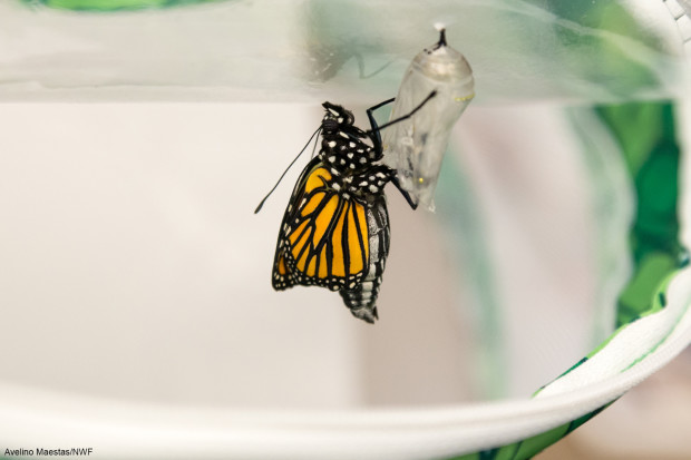 Monarch emerged from the chrysalis by Avelino Maestas.