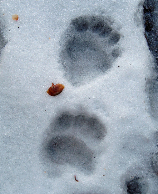 Bear Track Photo Credit: Wayne/Flickr Creative Commons