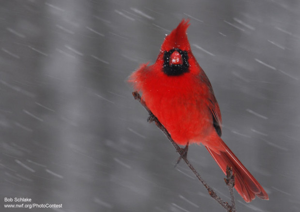 Cardinal by National Wildlife Photo Contest entrant Bob Schlake.