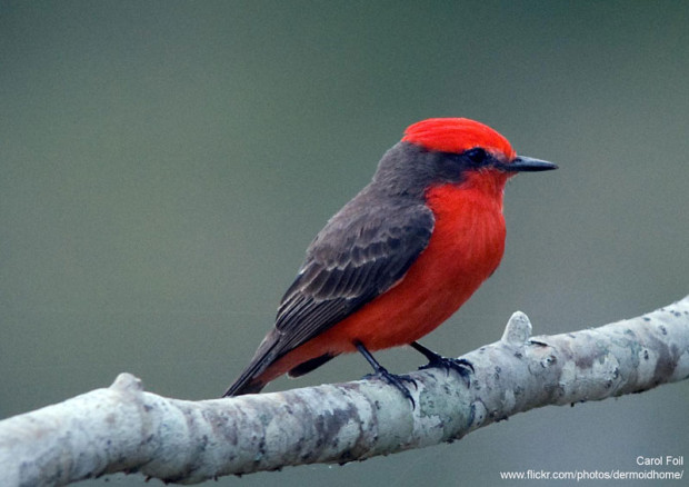 Vermillion flycatcher by Carol Foil on Flickr.
