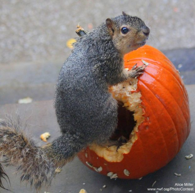 Squirrel enjoys a pumpkin by Alice Miller.