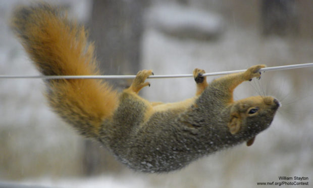 Acrobatic squirrel by William Stayton.
