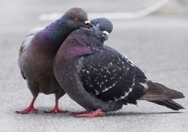 Pigeon Touching Photo Credit: Ingrid Taylar Flickr Creative Commons