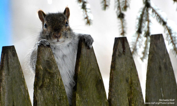 Squirrel Peering Over Fence by Michaela Wolf