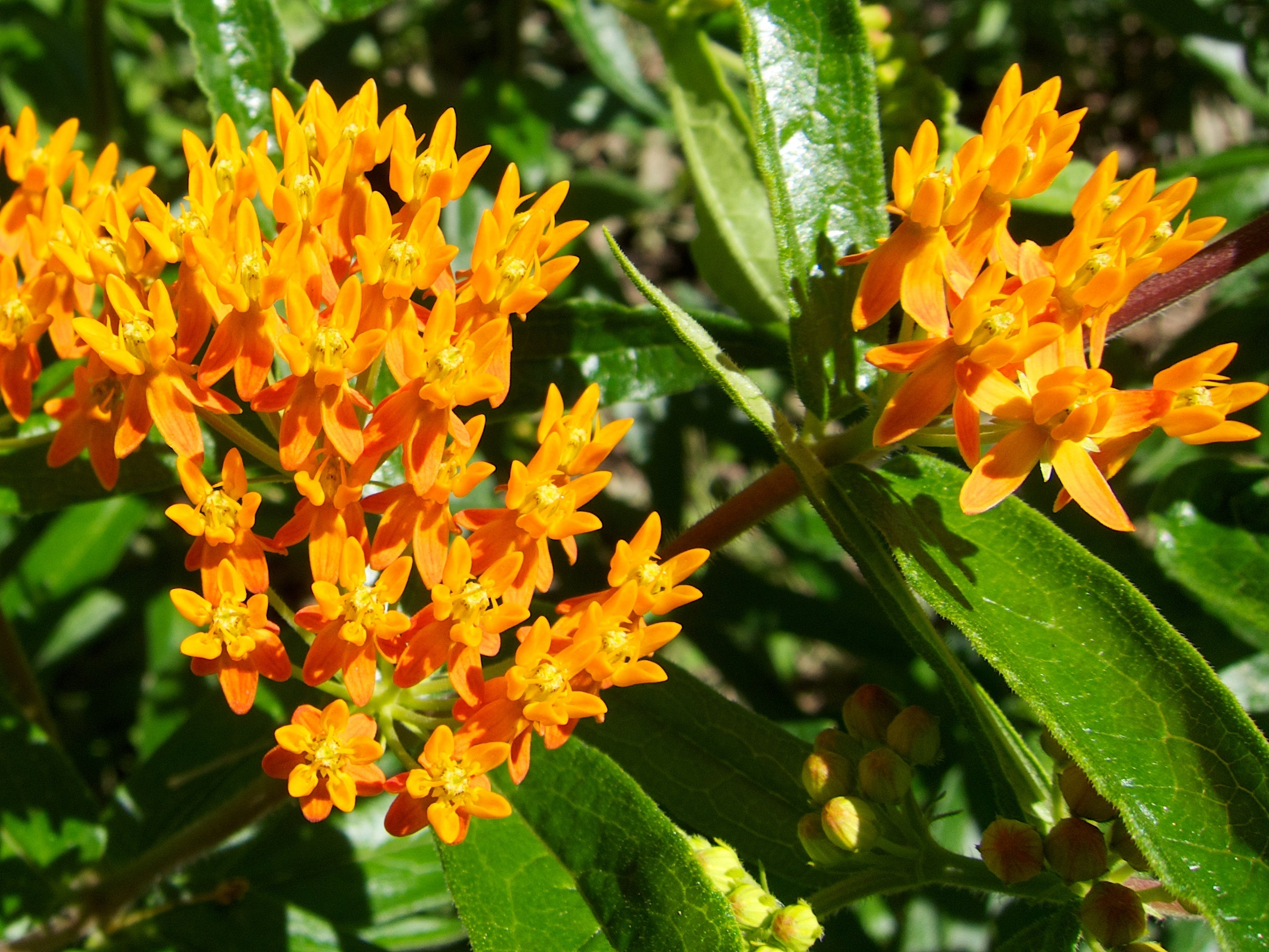 Twelve Native Milkweeds For Monarchs The National Wildlife