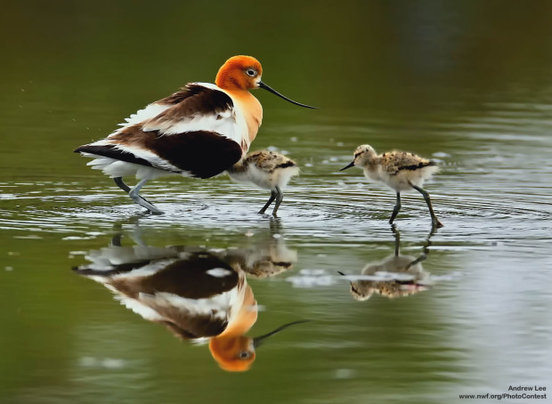 American Avocet and chick