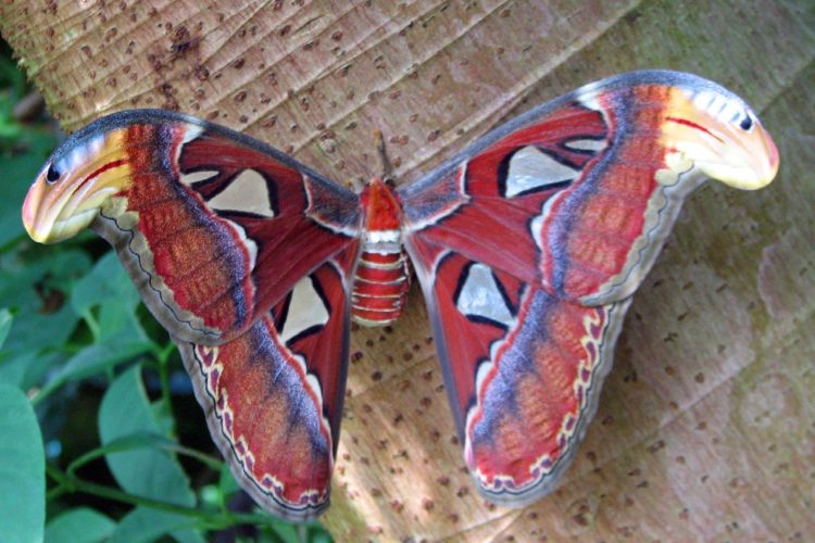 Atlas moth. Photo by Dayland Shannon via Flickr Creative Commons