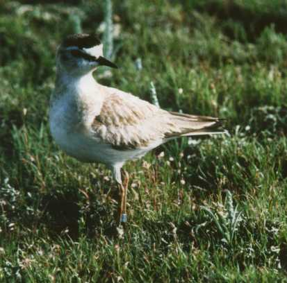 Mountain plover. Photo by Fritz Knopf, USFWS