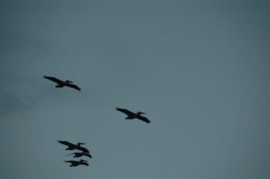 Pelicans. Photo from IWF