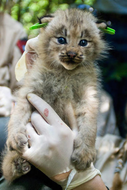 Canada lynx kitten being held by USFWS biologist in the Great North Woods region of Maine. Photo by James Weliver/USFWS