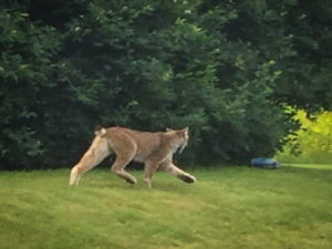 This state-endangered Canada lynx was photographed by a Londonderry resident in June, far across the state from the Northeast Kingdom regions in which lynx have previously been spotted. From Vermont Fish and Wildlife Dept.