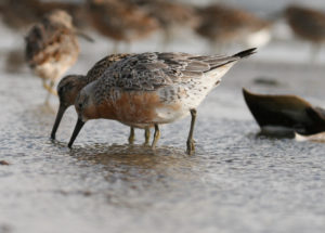 Red Knots Feeding. Photo by GA Wildlife Resource Division/ Flickr