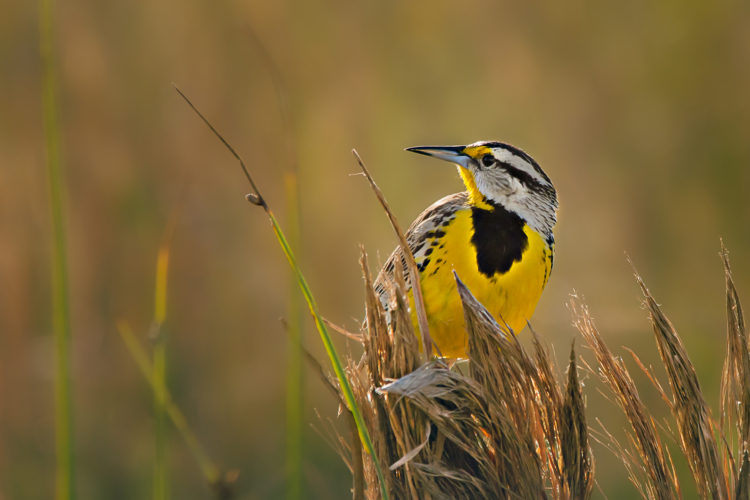 Eastern Meadowlark by Matt Bryant