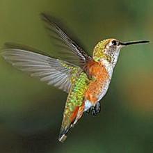 Rufous Hummingbird by David M. Schindler