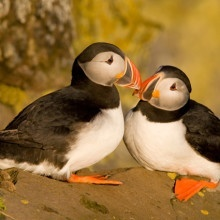 Atlantic puffins in Latrabjarg, Iceland