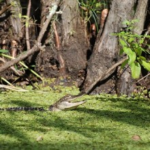 Alligator in Louisiana's Honey Island Swamp