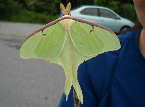 fae8c76a4 Luna moths are fairly common in the Eastern U.S. near forests. (Photo by  Kevin Heath)