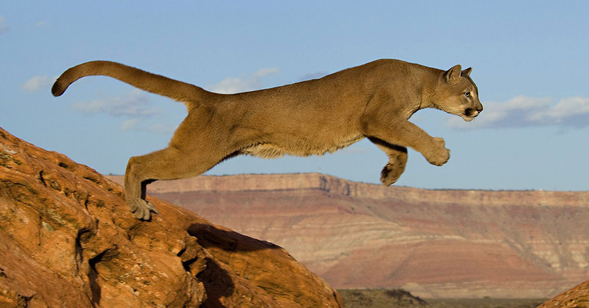 We're Not Mountain Lion About These Facts • The National