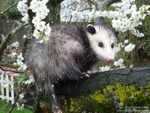 Opossums And Gardening A Few Things To Know The National Wildlife Federation Blog The National Wildlife Federation Blog